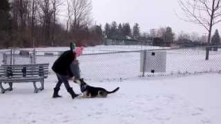 CHQ Dog Tricks by Lux, a 4 & 1/2 year old female husky-shepherd mix