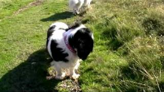 Lucy Cavalier King Charles Bug Hunt Black Coombe Mountain