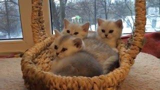 Зеленоглазые британские котята окраса шиншилла серебристая