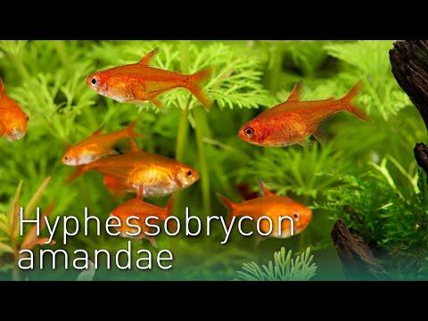 Hyphessobrycon amandae | Der Feuersalmler, Funkensalmler| Nano Fisch Portrait