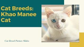 Khao manee Slides  Cat Breeds