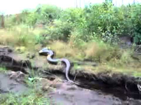 Big Snake in The Amazon Jungle - YouTube