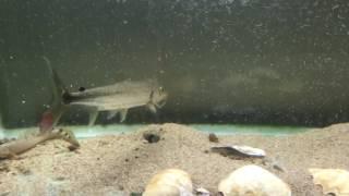 Goliath Tigerfish 熱帯魚 捕食 ゴリアテタイガー ゴライアスグルーパー 検索動画 24