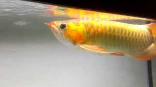 Champion Asian Red Arowana  in Vietnam 2013