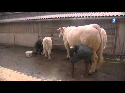 Saône-et-Loire : la vache charolaise Déesse se prépare pour le Salon de l'agriculture 2015