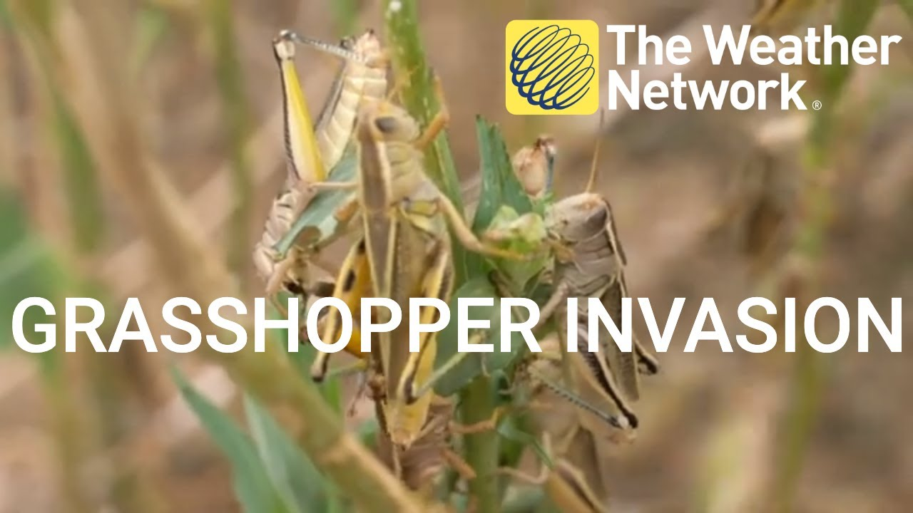 Explosion of grasshoppers in Alberta