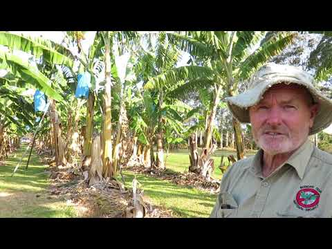 Panama Disease Race 1 and the search for disease-resistant banana varieties