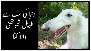 Eriszoi Borzoi ( Russian Wolfhound) Dog Labmay Mon Wala Kuta