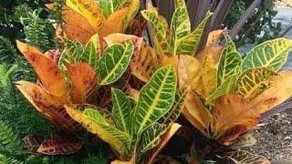 Aprenda Dicas e Cuidados Para Cultivar Seus Crotons