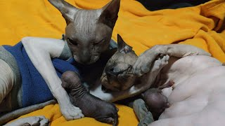 Cat Giving Birth to 6 Kittens, Daddy at the Birth  Don Sphynx