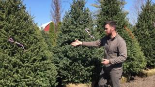 White Spruce - Fort Wayne Trees