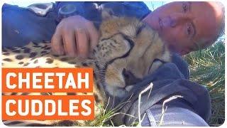 Young Cheetah Falls Asleep With Caretaker