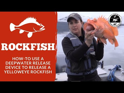 How To Use A Deepwater Release Device - Release Of A Yelloweye Rockfish