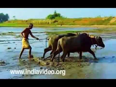 Agriculture and farming in Cheppad Alappuzha