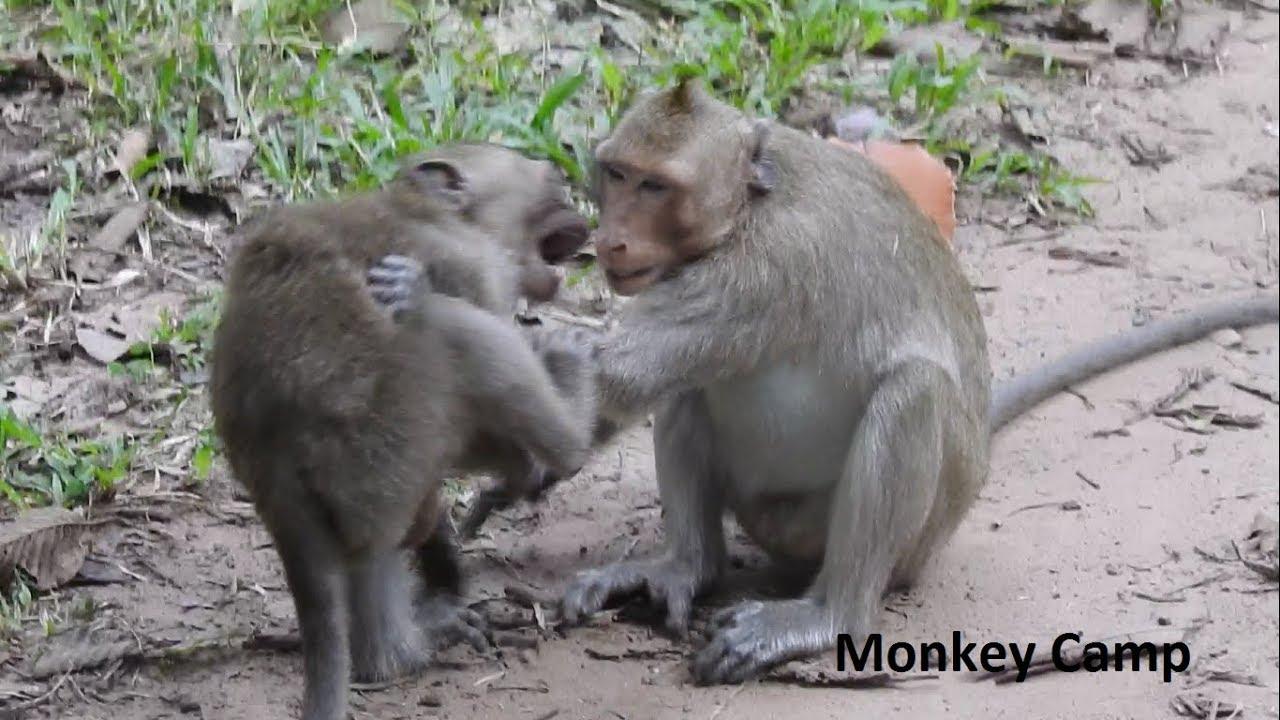 Adult monkeys