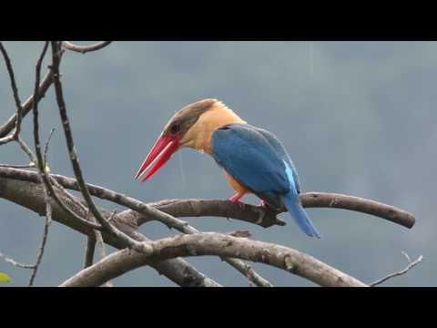 Stork Billed Kingfisher Pelargopsis Capensis Display & Calls
