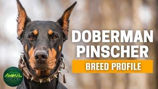Doberman Pinscher Dogs 101  One of the World's FirstClass Watchdogs