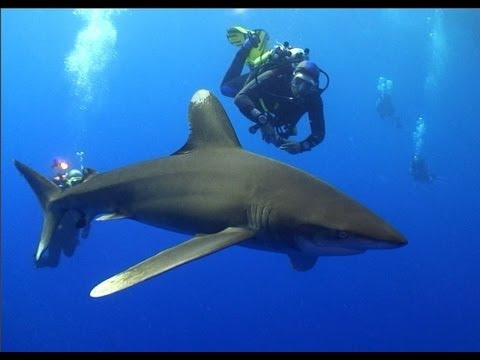 Oceanics of the Red Sea - A Shark Diving Experience
