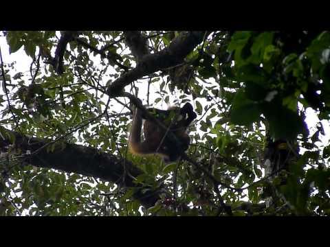 Singe araignée (spider monkey) - Tortuguero - Costa Rica