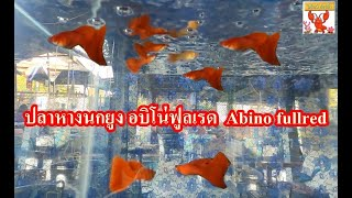 ปลาหางนกยูง อบิโน่ฟูลเรด (Abino fullred)
