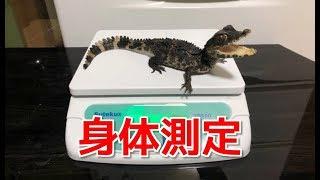 【体重】ペットのワニの身体測定を行います!【体長】 thumbnail