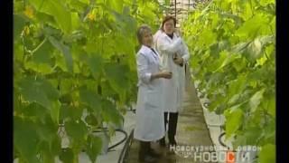 Шмели повышают урожайность овощей в Кузбассе(Сибирские огурцы встретили бельгийских шмелей стройными рядами. Произошло это впервые, в хозяйстве решили..., 2012-02-26T10:24:48.000Z)