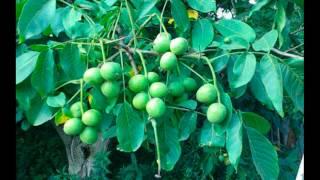 описание скороплодного грецкого ореха сорта Кочерженко
