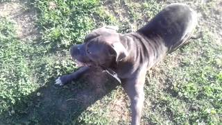 Blue pit bull seizures, beware very hard to watch.