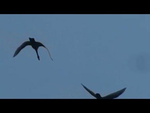 Birds flying in a V-formation