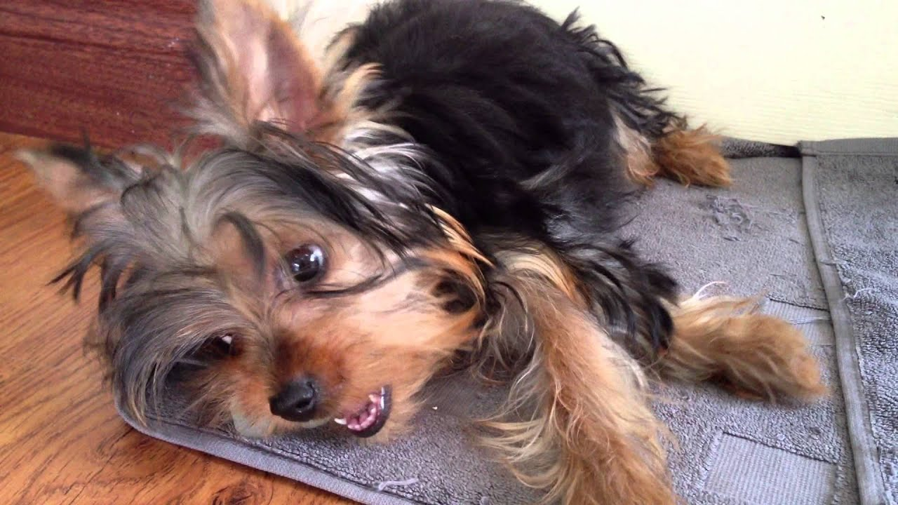 Yorkshire Terrier Yorkie Puppy For Sale - 4 Months, Alfie