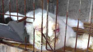 Here's What Happens on These 'Humane' Angora Farms