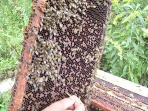 identifying foul brood in a bee hive