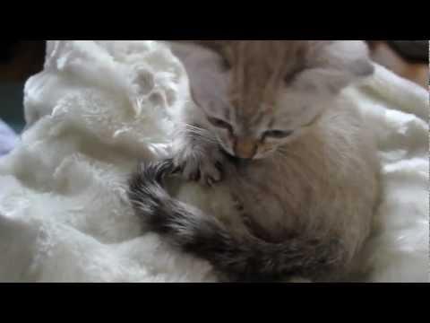 Cute Snow Bengal Kitten