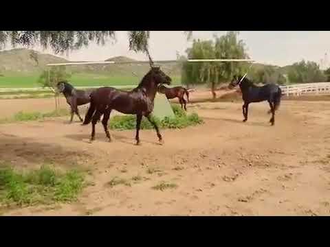Самые лучшие лошади для кок бору