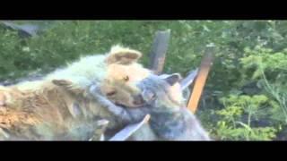 ▶ Кошка в бой против Собаки    YouTube 720p
