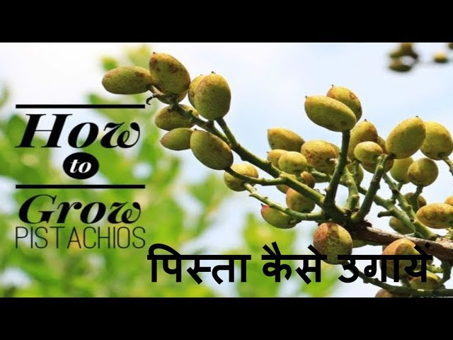 pistachio seed germination | How to grow pistachio nuts at home in Hindi. Growing Pista, pistachios.