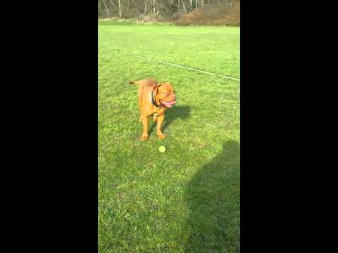 Stunt dog, Lulu, Dogue de Bordeaux.