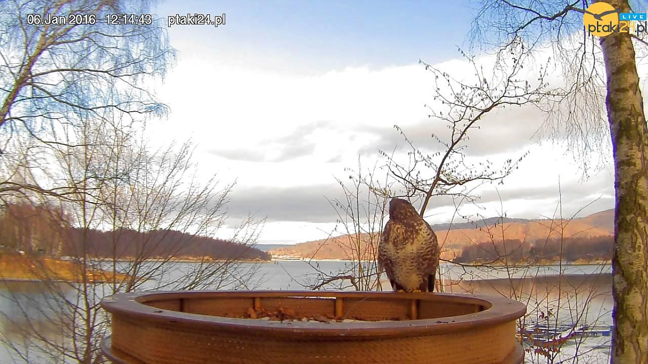 Dwa myszołowy w karmniku dla ptaków drapieżnych nad Soliną