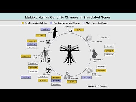 Genomic Events Altering Sialic Acid Biology Predated The Common Ancestor Of Humans And Neanderthals