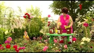 видео Как помочь плетущейся розе.