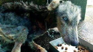 Парень спас истощенную собаку не зная, что она превратится в прекрасную хаски