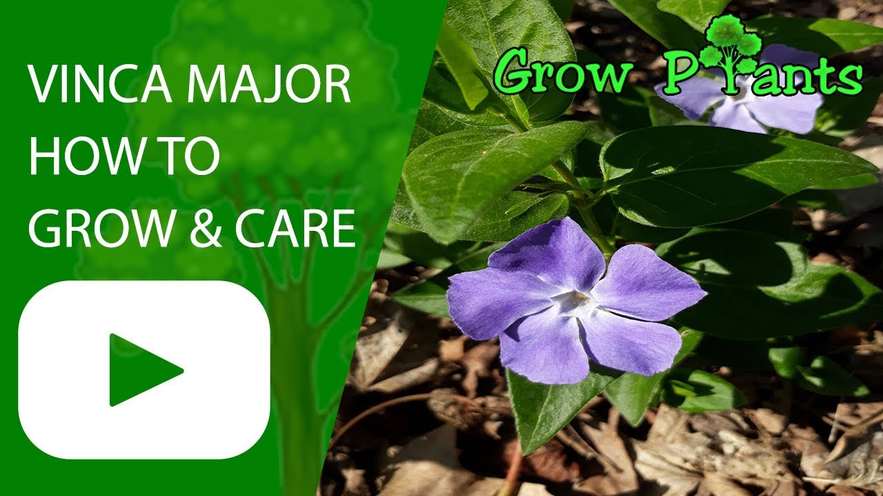 Vinca major plant how to grow care youtube for Vinca major