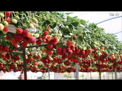 WOW! Amazing Agriculture Technology - Strawberry