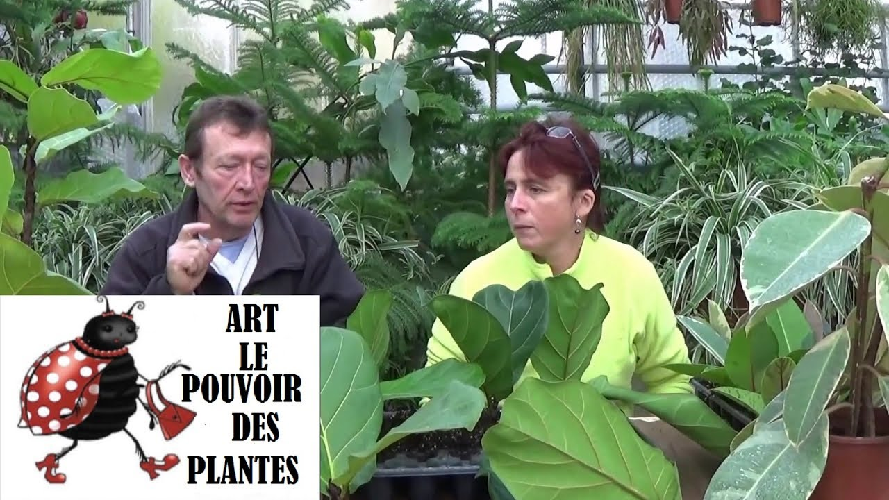 Chaine de jardin comment arroser et bouturer un ficus l doovi - Comment tailler un ficus ...