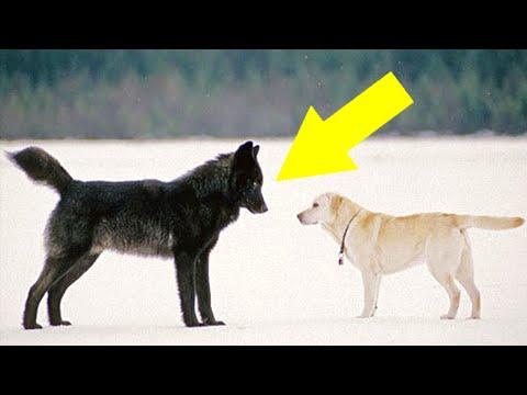 Du Wirst Niemals Glauben Was Passiert, Wenn Ein Wilder Wolf Auf Einen Hund Trifft...