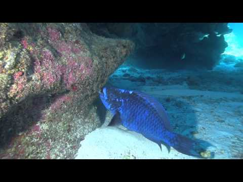 Midnight Parrot Fish Up Close And Feeding
