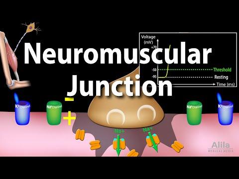 Neuromuscular Junction, Animation