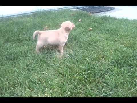 Puppy Pitbull Sheppard Husky mix
