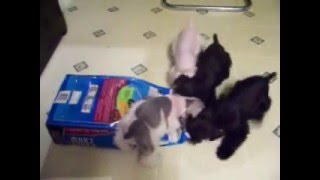 Miniature Schnauzers Puppies Stealing Food