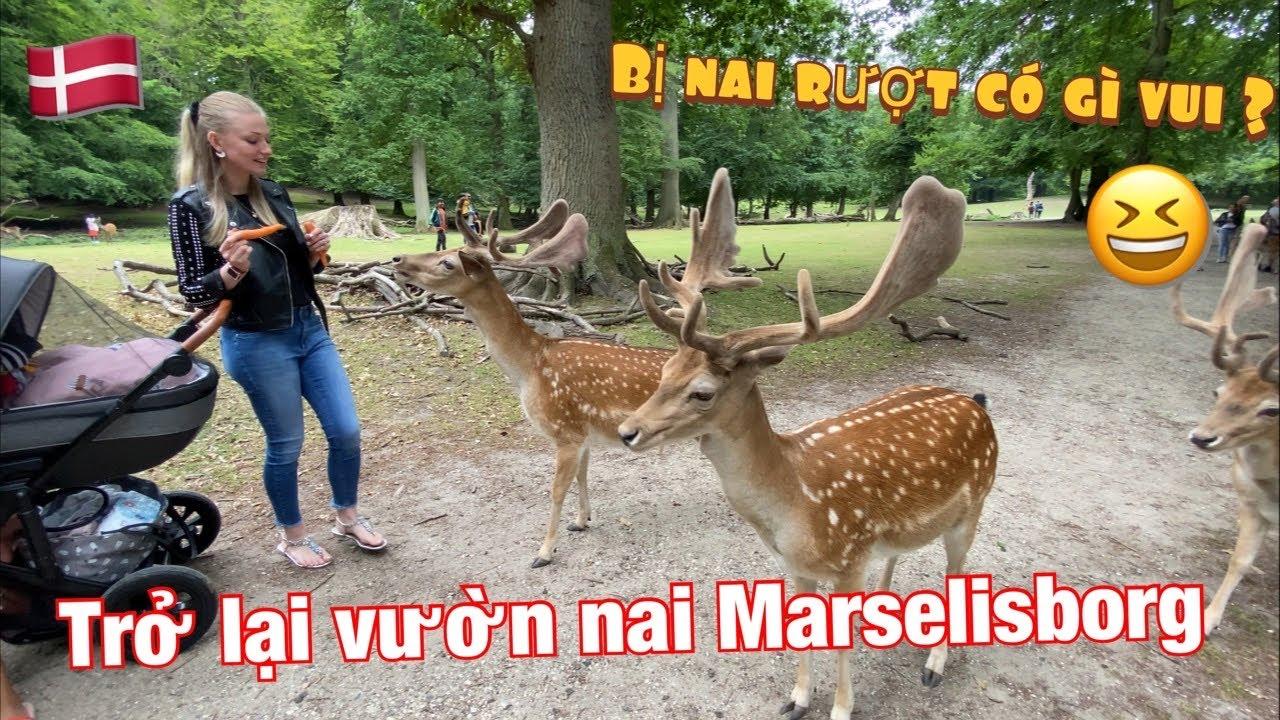 #133: Trở lại vườn nai Marselisborg và ... vẫn còn bị nai rượt 😆